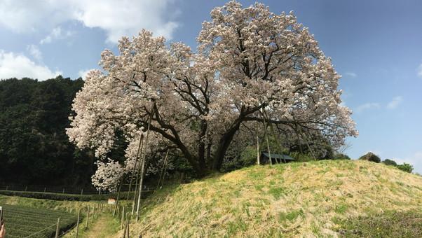 嬉野市 納戸料 百年桜その1