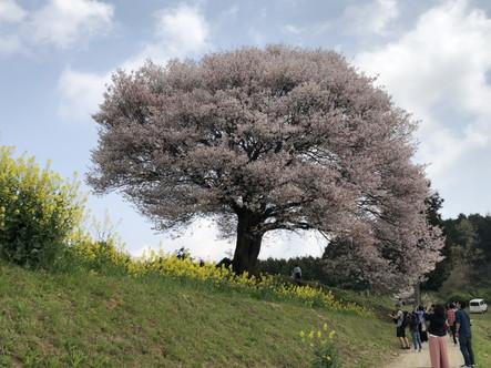 武雄市 馬場の山桜その1