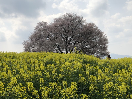 武雄市 馬場の山桜その2